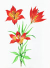 The flower known botanically as Lilium philadelphicum L. var. andi num (Nutt.) Ker and called the 'western red lily' is the floral emblem of Saskatchewan